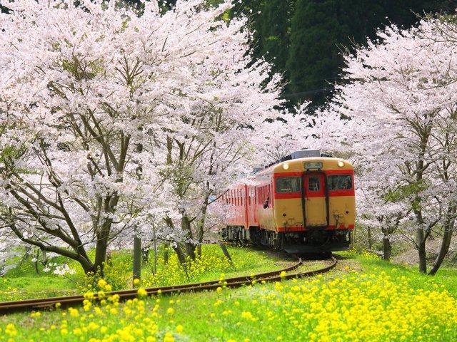 Kyoto cũng nổi tiếng với mùa hoa anh đào dịu dàng, quyến rũ - những hình ảnh quen thuộc mà chúng ta đã thấy trong bộ phim Lost in Translation.
