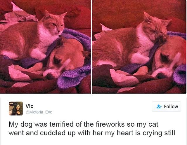Chú chó của tôi rất sợ pháo hoa nên con mèo đã tới và ôm lấy nó. Tôi đã khóc sau khi thấy cảnh này mất