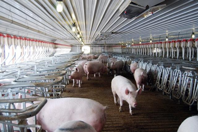 Công ty thịt lợn lớn nhất thế giới đang tìm cách tận dụng nội tạng lợn để cấy ghép sang người