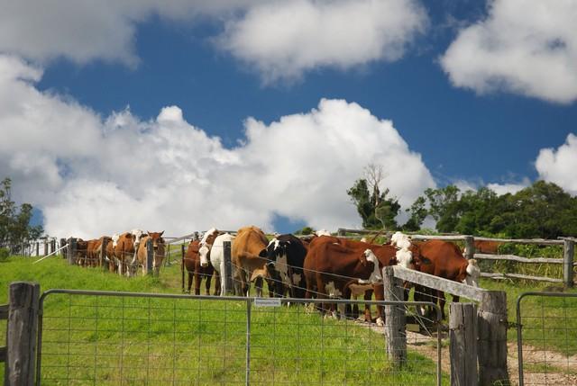 Một đàn bò trong nông trại tại Úc