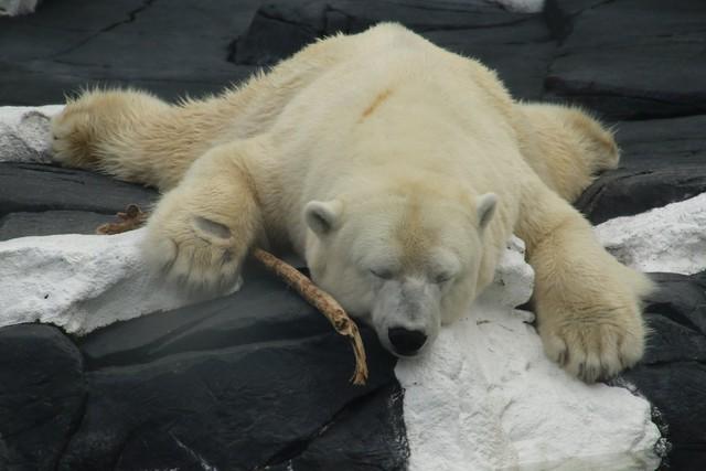 Cái kết buồn của chú gấu Bắc Cực Szenja