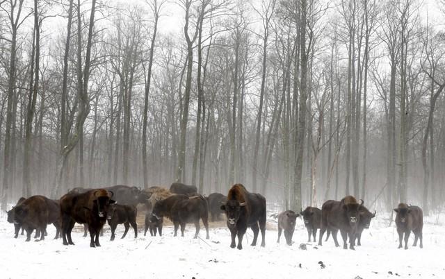 Bò rừng được tìm thấy ở một nhà trẻ trong khu vực giới hạn đặc biệt 30 km quanh nhà máy hạt nhân Chernobyl, gần ngôi làng bị bỏ hoang Dronki của Belarus