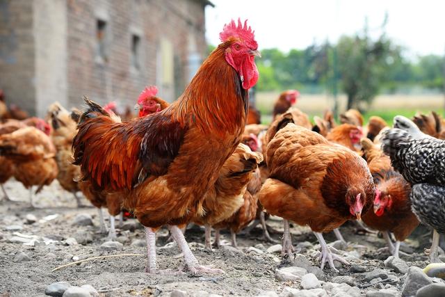 Câu chuyện của Randy bắt đầu từ một con gà trống