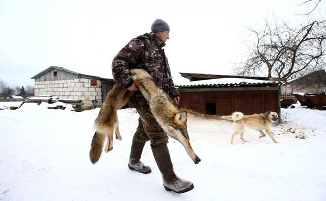 Ở gần biên giới Belarus - Ukraine, các trang trại địa phương đang khuyến khích thợ săn bắt và giết chó sói do chúng thường săn gia súc của họ.