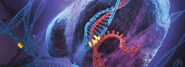 Chỉnh sửa gen sẽ giúp cấy ghép nội tạng lợn vào cơ thể người.