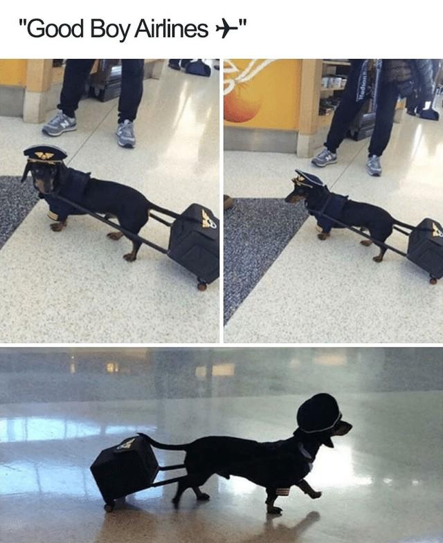 Hãng hàng không chú chó ngoan xin chào quý khách