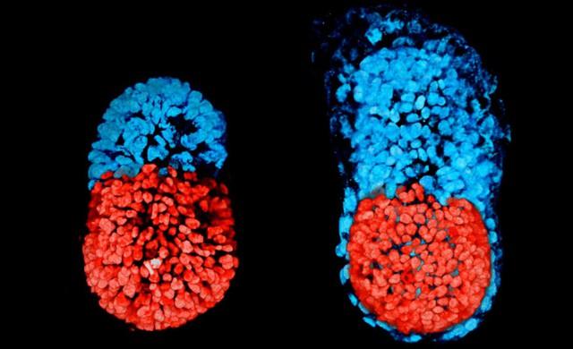 Bên trái là phôi thai cách giai đoạn phát triển túi mầm 96 tiếng, bên phải là chỉ còn cách 48 tiếng. Phần màu đỏ là bào thai đang phải triển, phần màu xanh sẽ dần dần phát triển thành nhau thai.
