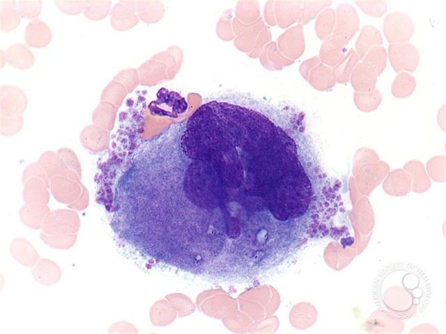 Tế bào megakaryocyte cư trú cả trong phổi động vật có vú, và chúng ở đó để sản sinh tiểu cầu