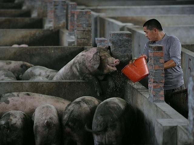 Trung Quốc cấm dùng kháng sinh mạnh nhất làm phụ gia thức ăn chăn nuôi, nhưng các chuyên gia nói đã quá muộn