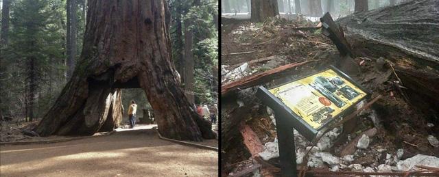 Pioneer Cabin Tree 1.000 năm tuổi vừa bị đánh bật gốc hồi tháng Giêng vừa rồi.