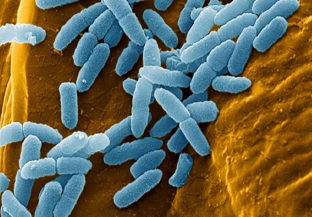 Máu rồng Komodo có những chất ức chế trực khuẩn mủ xanh