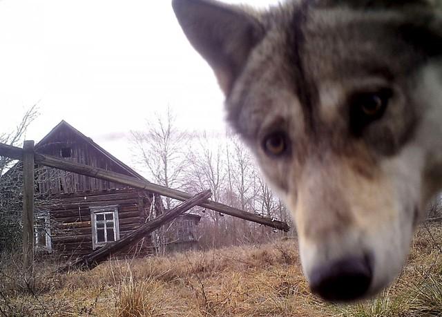 Các nhà khoa học tìm ra rằng số lượng của loài sói ở đây gấp tới 7 lần những khu vực lân cận.