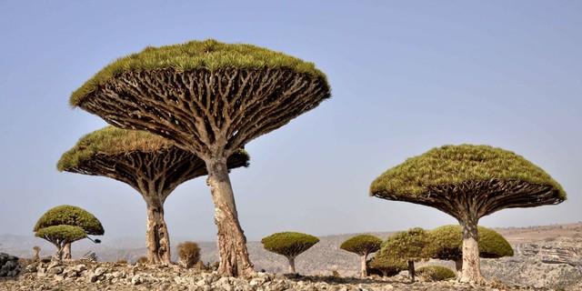 Đảo Socotra, nằm ngoài Yemen được coi là ngôi nhà của loài cây hút máu Dragon kì dị. Trên thực tế, 1/3 số loài thực vật sống tại đây không hề xuất hiện ở bất cứ nơi nào khác trên hành tinh.