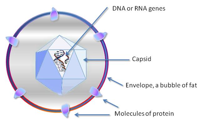Cấu trúc của virus cực kỳ đơn giản: chỉ cần một lõi DNA hoặc RNA với vỏ capsid là bạn đã có một virus