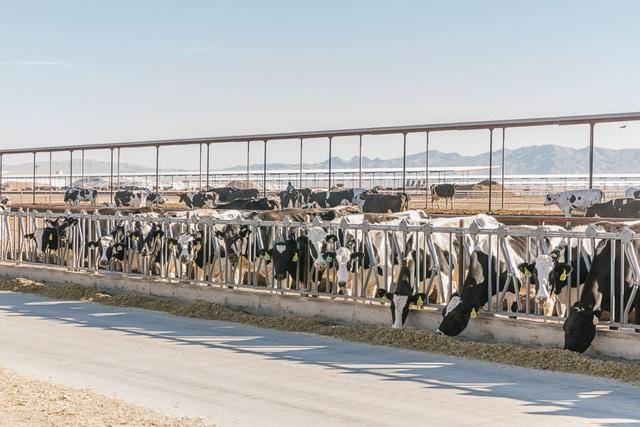 Cho bò sữa xem phim thực tế ảo và hiệu quả không ngờ - Ảnh 4.
