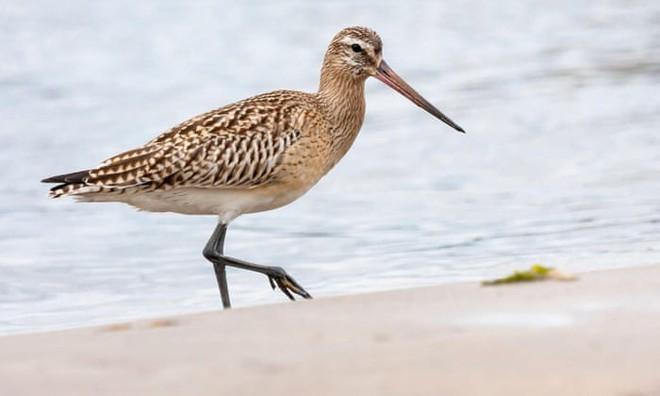 Bay liên tục 13.000 km không cần nghỉ, loài chim máy bay phản lực lập kỷ lục vô tiền khoáng hậu - Ảnh 1.