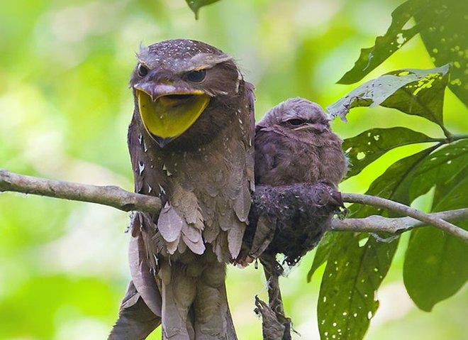 Frogmouth: Loài cú muỗi đáng yêu siêu nhiều biểu cảm - Ảnh 11.