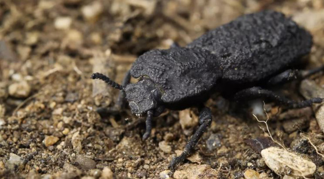 Con bọ này có lớp vỏ bền hơn vật liệu làm máy bay, gần như không thể phá hủy - Ảnh 1.