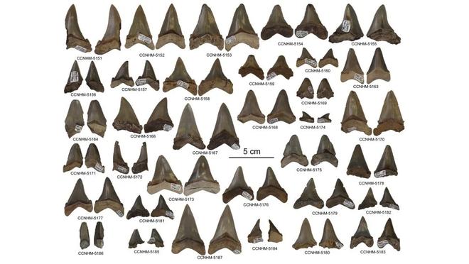Phát hiện nhà trẻ cá mập 24 triệu năm tuổi, các nhà nghiên cứu đặt tên báo cáo khoa học mới là Baby Megashark Do Do Do Do - Ảnh 2.