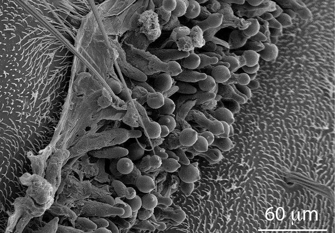 Loài nấm biến ruồi thành nô lệ, đặt xác ruồi hớ hênh ở chỗ thông thoáng để bắn bào tử lên những kẻ xấu số lại gần - Ảnh 2.