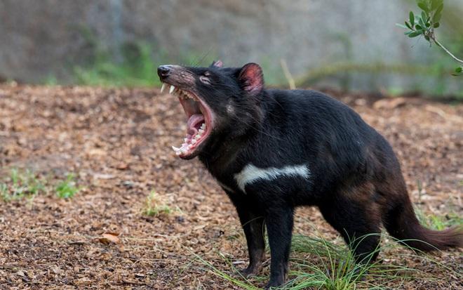 Lần đầu tiên sau 3000 năm biến mất, quỷ Tasmania quay trở lại lục địa Australia - Ảnh 1.