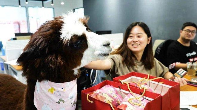 Công ty Trung Quốc thuê lạc đà để giúp nhân viên của mình thư giãn - Ảnh 1.