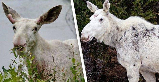 Cái chết của nai sừng tấm trắng ở Canada khiến cho cư dân bản địa cảm thấy phẫn nộ, buồn bã và tìm kiếm những kẻ đã ra tay - Ảnh 3.