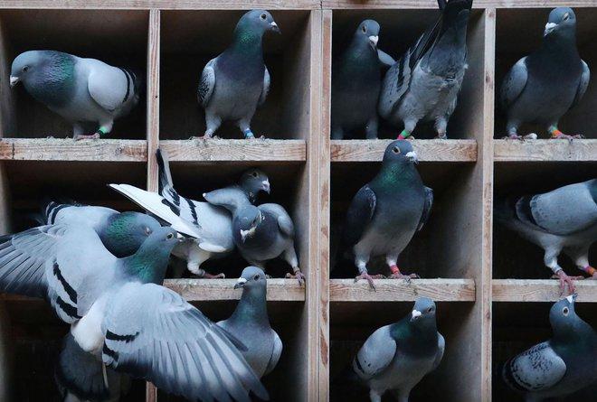 Một con chim bồ câu giá gần 2 triệu USD - Vén màn bí ẩn phía sau thú chơi xa xỉ của giới siêu giàu Trung Quốc - Ảnh 2.