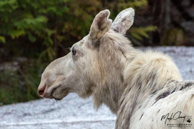 Cái chết của nai sừng tấm trắng ở Canada khiến cho cư dân bản địa cảm thấy phẫn nộ, buồn bã và tìm kiếm những kẻ đã ra tay - Ảnh 2.