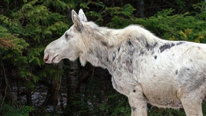 Cái chết của nai sừng tấm trắng ở Canada khiến cho cư dân bản địa cảm thấy phẫn nộ, buồn bã và tìm kiếm những kẻ đã ra tay - Ảnh 1.