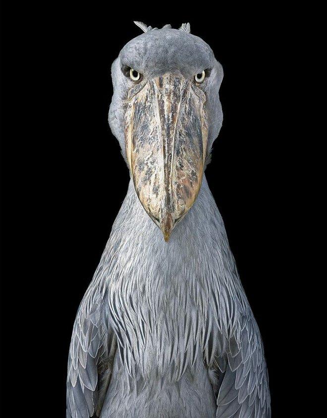Chân dung các loài chim quý hiếm, tuy đơn giản nhưng lại tuyệt đẹp - Ảnh 17.