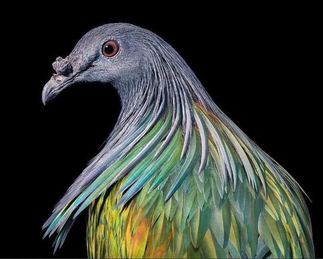 Chân dung các loài chim quý hiếm, tuy đơn giản nhưng lại tuyệt đẹp - Ảnh 21.