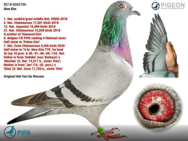 Chú chim bồ câu đua đắt nhất thế giới, có giá bằng cả một chiếc Pagani Huayra