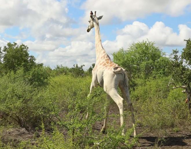 Con hươu cao cổ trắng duy nhất trên thế giới này hiện được bảo vệ bởi công nghệ GPS Tracker - Ảnh 2.