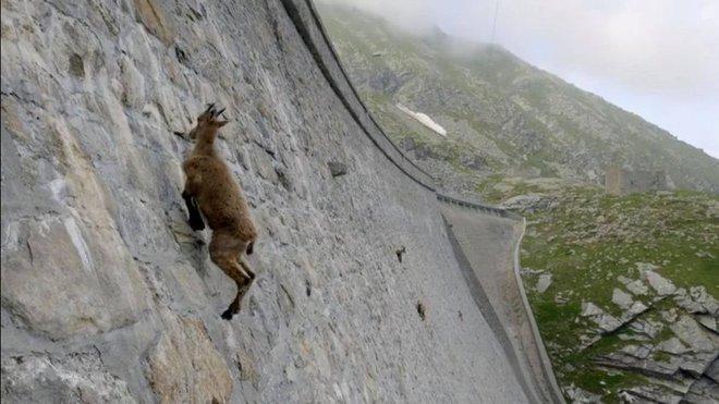 Alpine Ibex: Bất chấp các vấn đề về trọng lực, loài động vật này vẫn có thể leo lên các bức tường thẳng đứng - Ảnh 4.