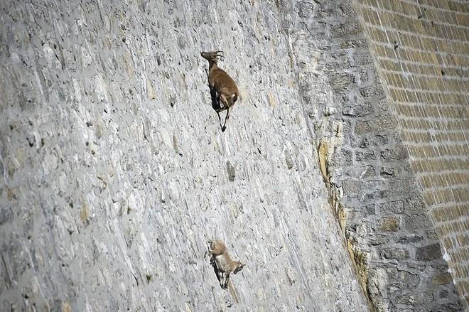 Alpine Ibex: Bất chấp các vấn đề về trọng lực, loài động vật này vẫn có thể leo lên các bức tường thẳng đứng - Ảnh 2.