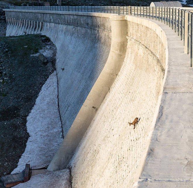 Alpine Ibex: Bất chấp các vấn đề về trọng lực, loài động vật này vẫn có thể leo lên các bức tường thẳng đứng - Ảnh 1.