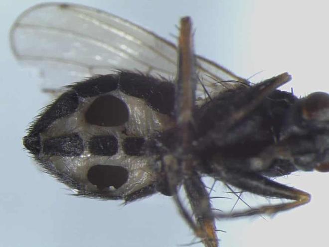Các nhà khoa học phát hiện hai loài nấm ăn thịt mới có thể biến ruồi thành zombie - Ảnh 1.