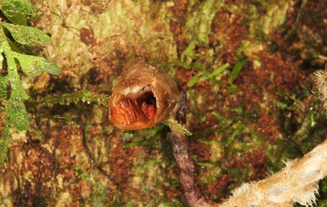 Phát hiện một loài phong lan mới, nhưng nó không đẹp mà lại xấu tới mức đáng kinh ngạc - Ảnh 1.