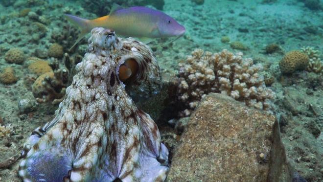 Los científicos descubrieron que los pulpos a menudo golpean a los peces en la cabeza, la razón de esta acción es realmente sorprendente - Foto 2.
