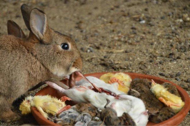 Thỏ ăn thịt đã là khó tin rồi, bạn có biết thỏ còn ăn lại phân của chính mình? - Ảnh 2.