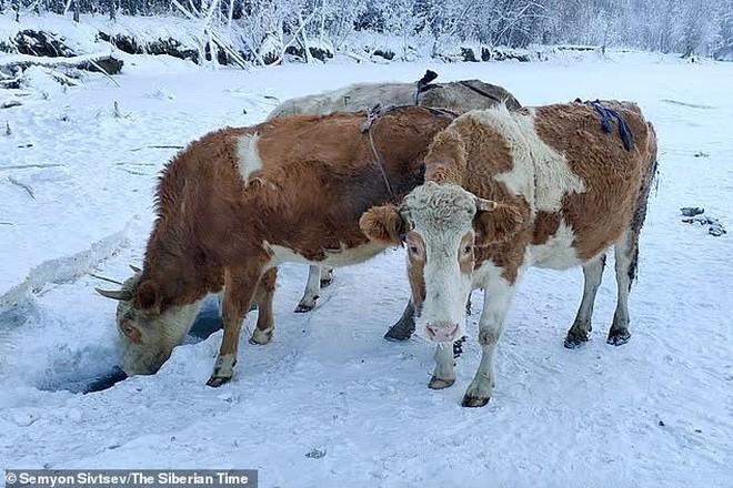 Nga: Bác nông dân tự làm áo lót để bò mặc cho khỏi lạnh - Ảnh 3.