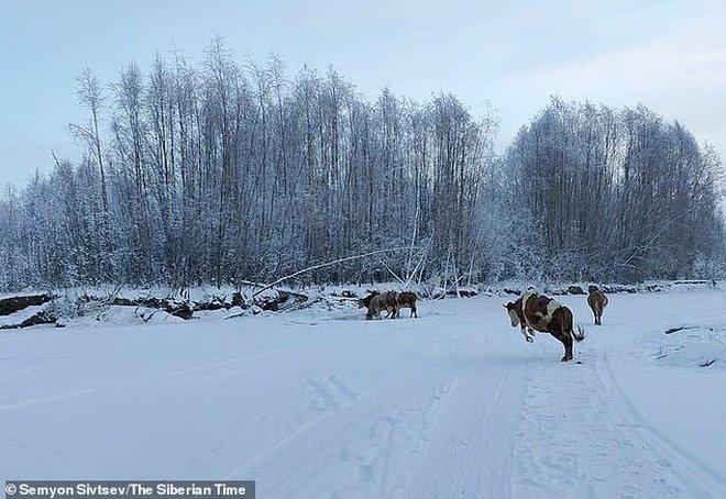 Nga: Bác nông dân tự làm áo lót để bò mặc cho khỏi lạnh - Ảnh 4.