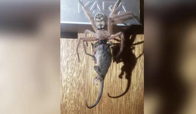 Anh chàng người Úc cho nhện khổng lồ to bằng khuôn mặt sống chung như thú nuôi, nhưng có lý do - Ảnh 2.