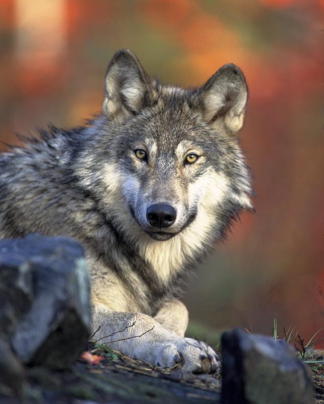 Chuyện buồn ngày Valentine: Cô sói lập kỷ lục đi 14.000 km để kiếm bạn tình, nhưng rồi lại chết trong cô đơn - Ảnh 1.