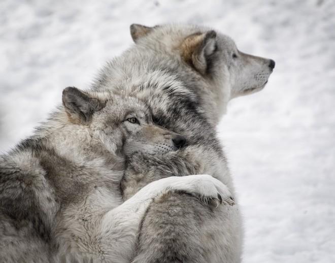 Chuyện buồn ngày Valentine: Cô sói lập kỷ lục đi 14.000 km để kiếm bạn tình, nhưng rồi lại chết trong cô đơn - Ảnh 2.