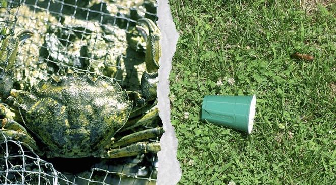 Từ loài gây hại, các nhà khoa học đang có ý định dùng cua xanh để làm nhựa sinh học - Ảnh 1.