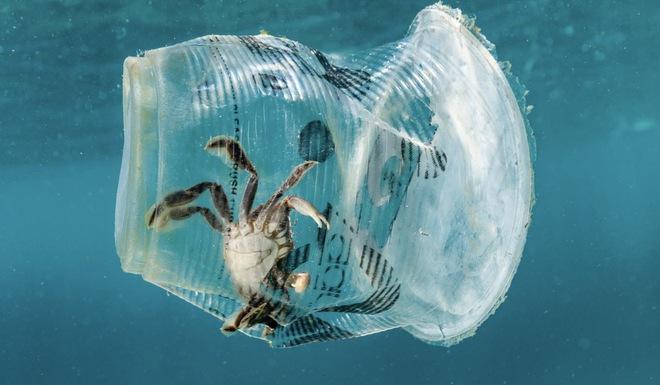 Từ loài gây hại, các nhà khoa học đang có ý định dùng cua xanh để làm nhựa sinh học - Ảnh 3.