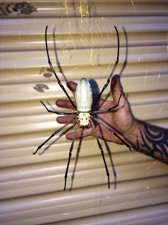 Lại là nước Úc kì diệu: Loài nhện siêu to khổng lồ với kích thước lớn hơn bàn tay người trưởng thành, có thể ăn cả dơi và chim - Ảnh 1.
