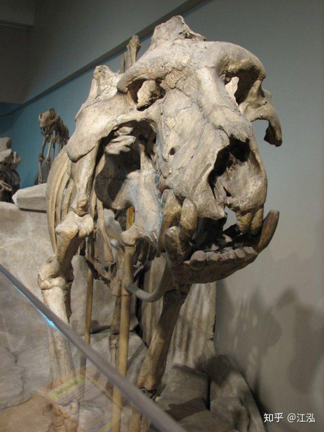 Loài lợn khổng lồ cổ đại: Kẻ khủng bố của Bắc Mỹ thời tiền sử - Ảnh 5.